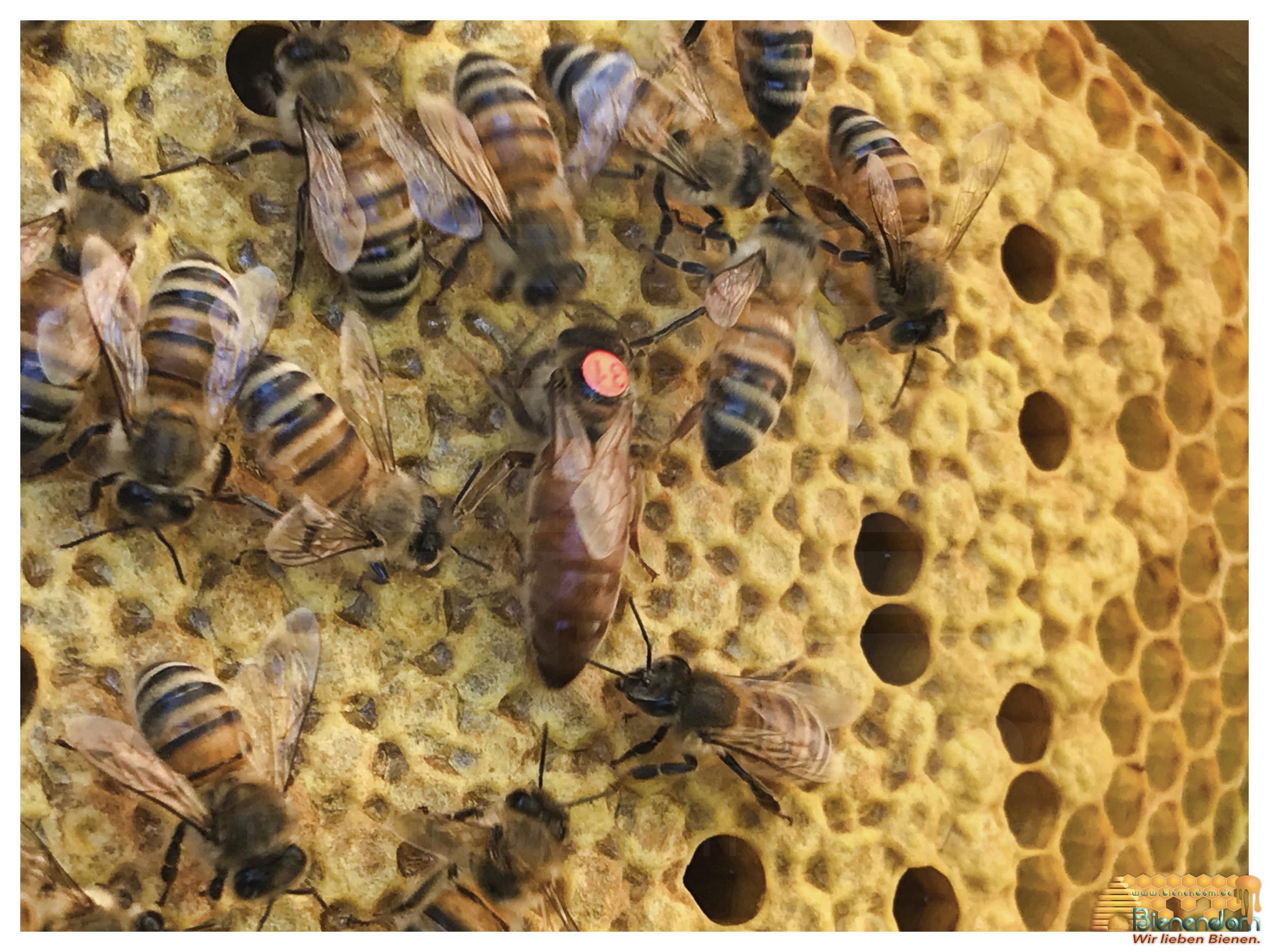 Bienenkönigin | Buckfast  F1 gezeichnet - standbegattet | Bienendom