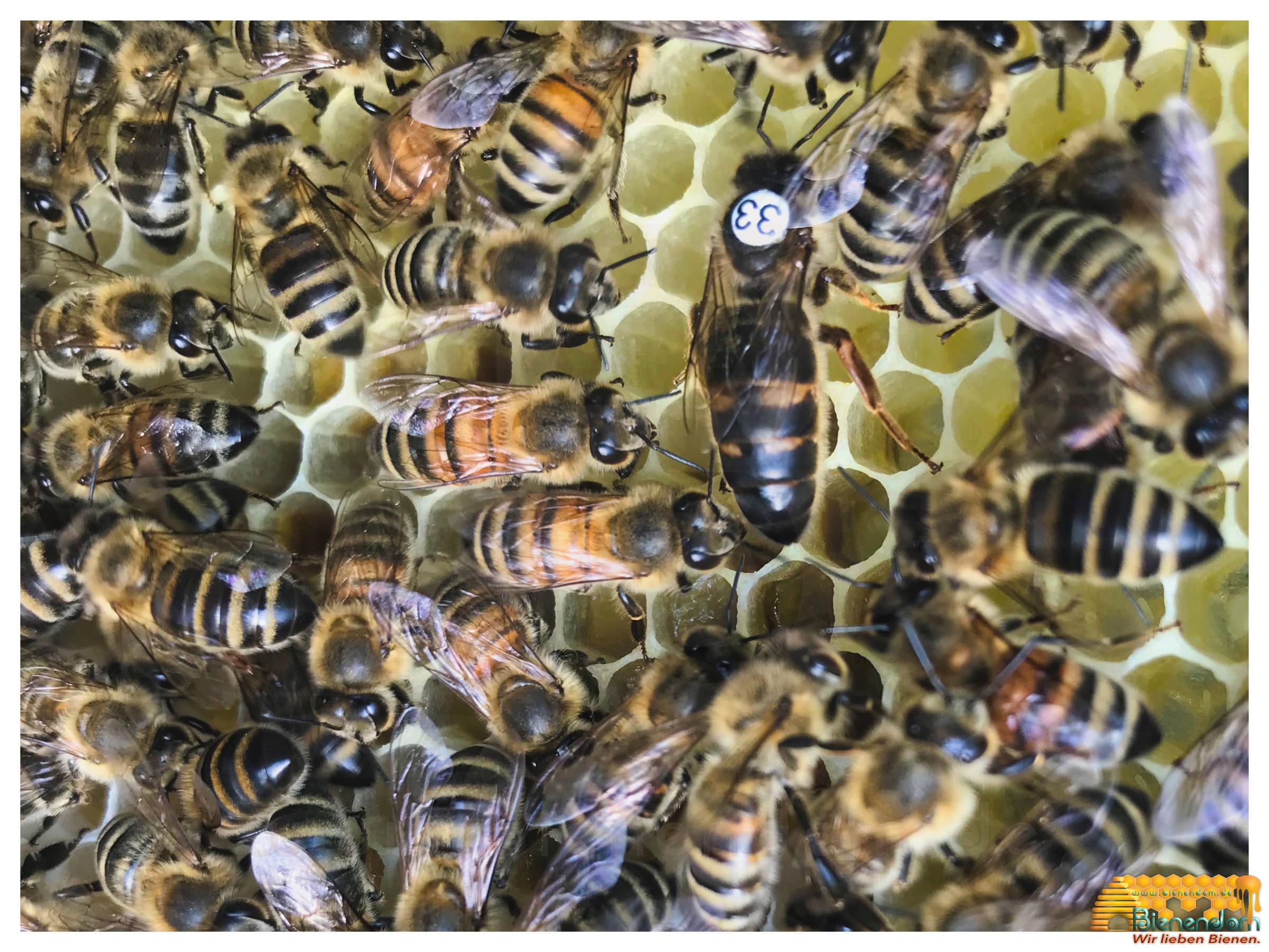 Bienenkönigin   Carnica F1 gezeichnet - standbegattet   Bienendom