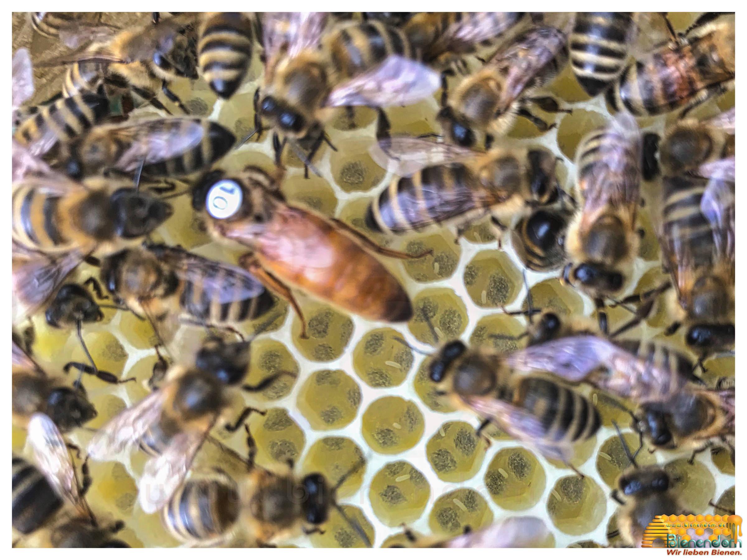 Bienenkönigin   Buckfast  F1 gezeichnet - standbegattet   Bienendom