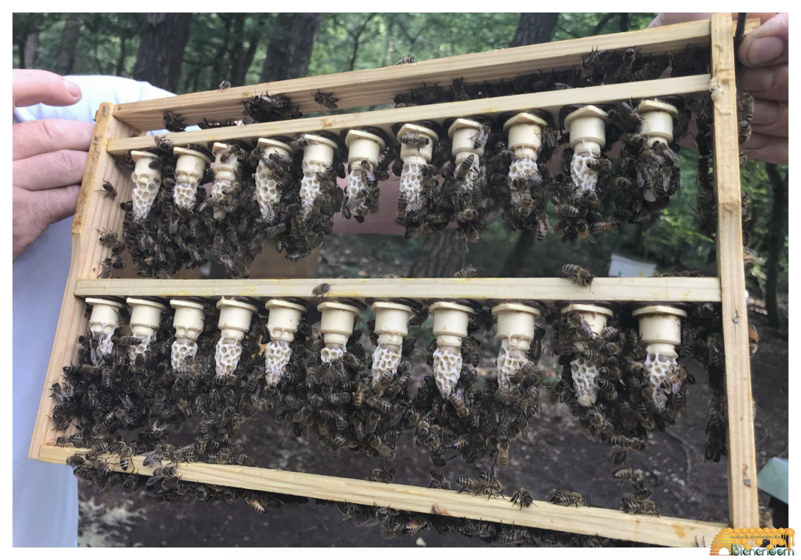 Bienenkönigin | Carnica F1 gezeichnet - standbegattet | Bienendom